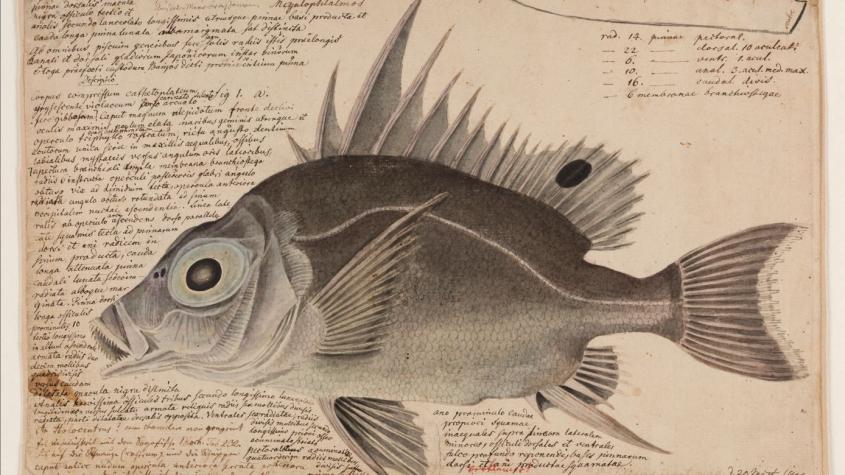 Wilhelm Gottlieb Tilesius von Tilenau, Großauge, 20. März  1805. Das Blatt ist die erste naturwissenschaftliche Beschreibung der Tierart, die in den Gewässern vor Japan  entdeckt wurde. © Marion Wenzel