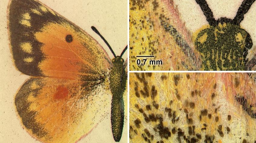 Mikroaufnahme des Schmetterlingsdrucks in Dentons Moths and Butterflies, Colias eurytheme, Deutsches Entomologisches Institut der Senckenberg Gesellschaft, Foto: Christian Kutzscher