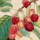 """Ausschnitt eines Kalenderblatts des Posterkalenders """"Poiteau: Alte Obstsorten 2019"""", in Kooperation mit dem DuMont Kalender-Verlag CC NC-BY-SA"""